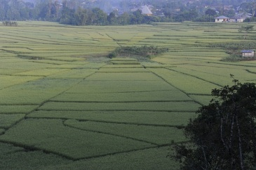 spider-web rice field