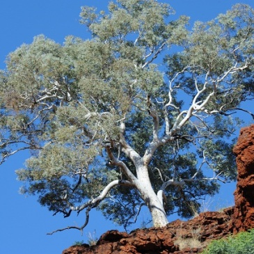 white tree on the red earth