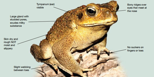 recognise cane toad