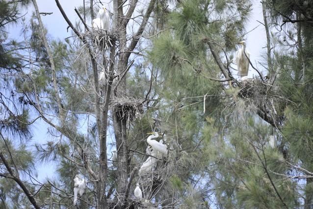 Great Eastern Egrets
