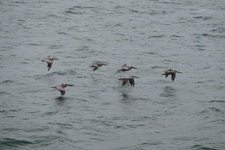 grey pelicans