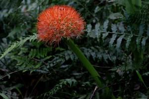 Seradoxus (Fireball Lily)